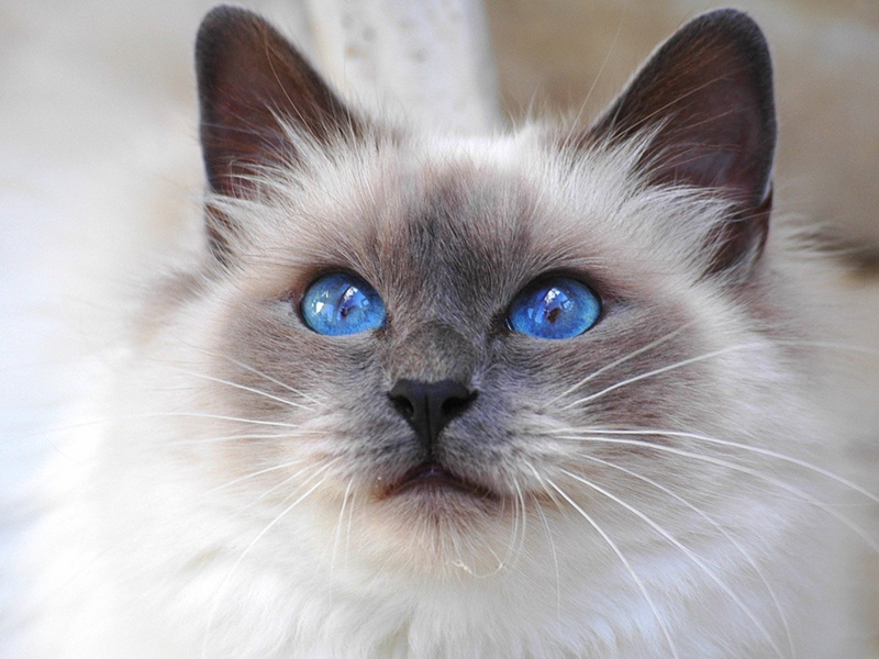 Священная кошка породы Бирма