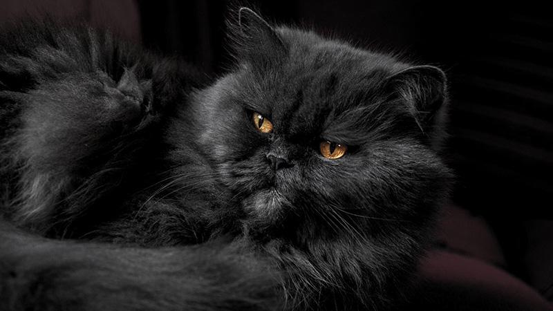 Черный окрас шерсти у британской кошки