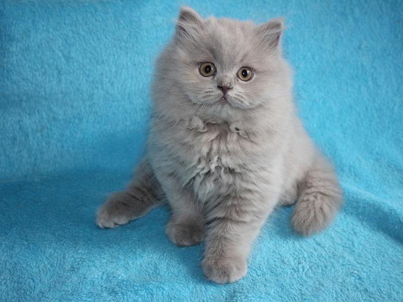 Британские длинношерстные кошки