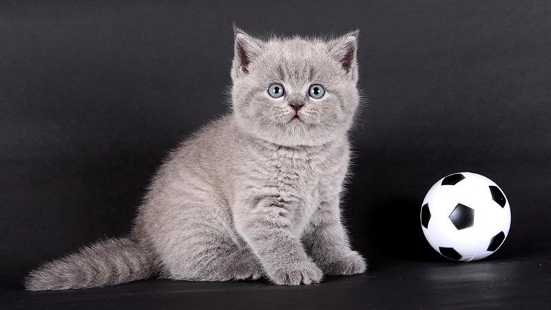 Серый котенок-британец