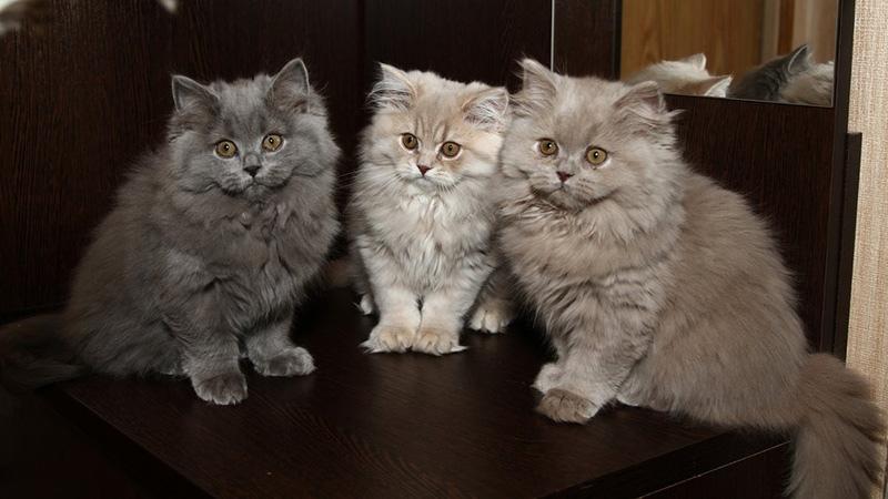 Характер британских длинношерстных кошек