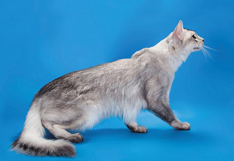 Дымчато-голубой оттенок шерсти у сомали