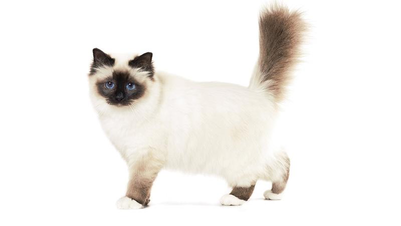 История священной кошки бирма