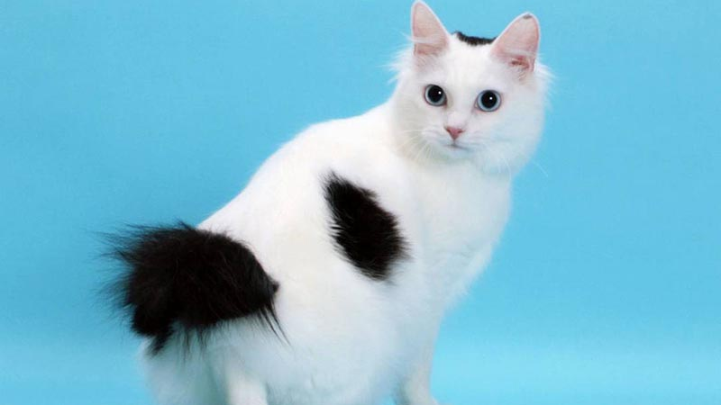 Древняя порода бесхвостых кошек - японский бобтейл