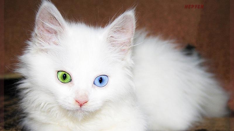 Разный цвет глаз у кошек турецкий ван
