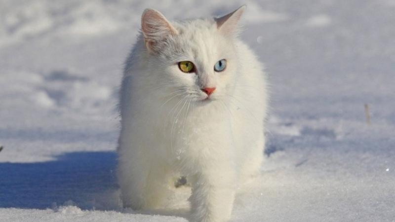Кошки-альбиносы