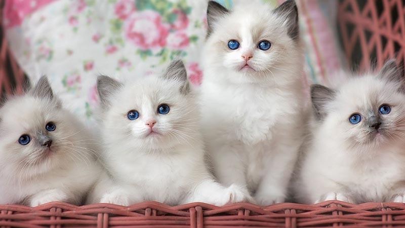 Котята породы рэгдолл