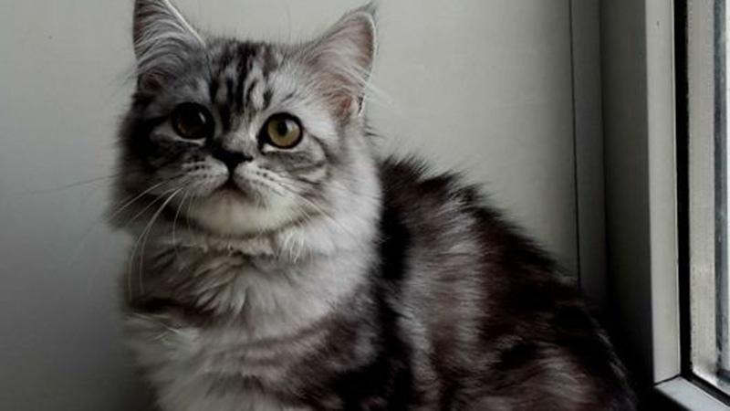 Черный мрамор на серебре - редкий окрас британских кошек