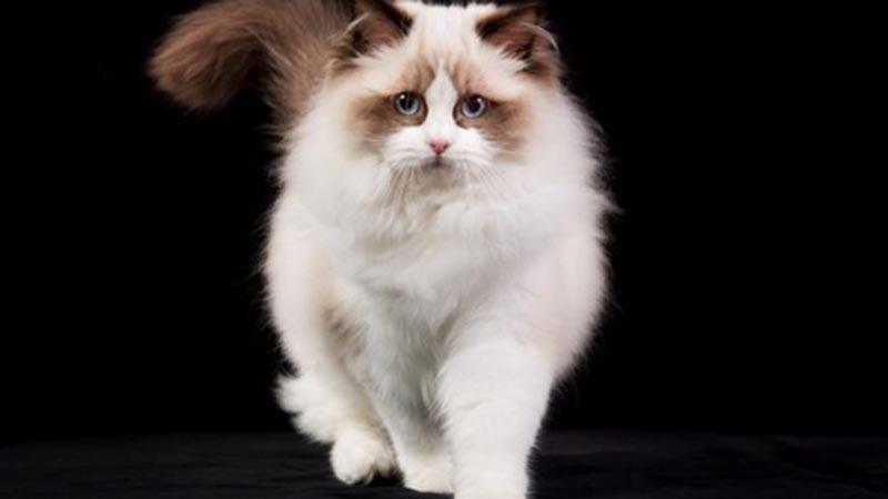 Шоколадный оттенок шерсти у кошек породы рэгдолл