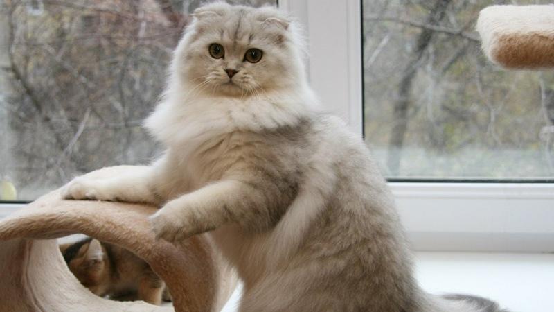 Британская кошка - серебристая шиншилла