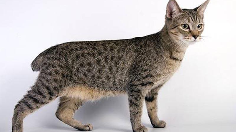 Американская представительница бесхвостых кошек - пиксибоб