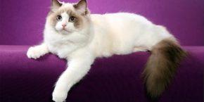 Рэгдолл кошка – непревзойденный характер. Фотографии окрасов, вес и размеры