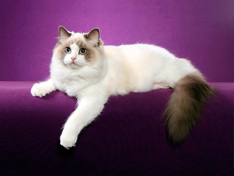 Рэгдолл кошка: характер, размеры, фотографии и отзывы