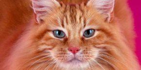 Содержание сомалийской кошки. Питомники, стоимость и подготовка к выставке