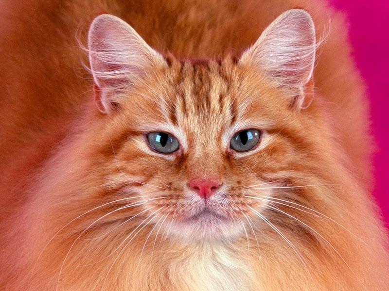 Сомалийская кошка - описание породы