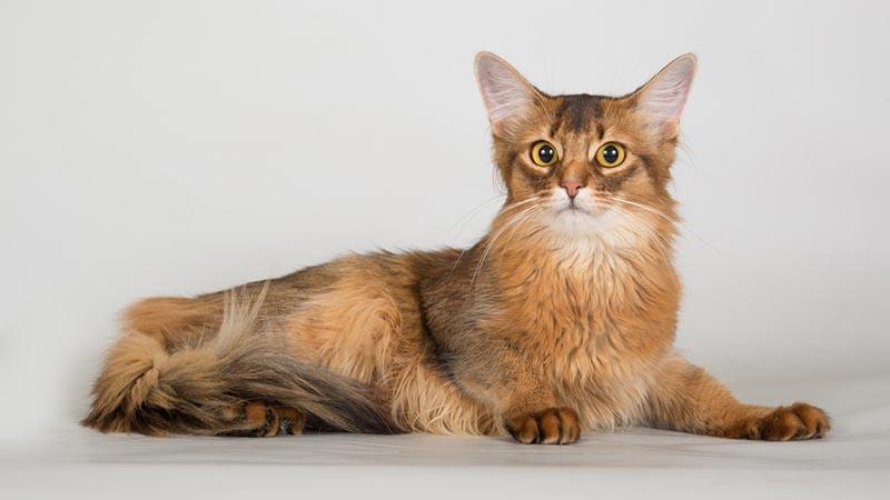 Коты сомалийской породы