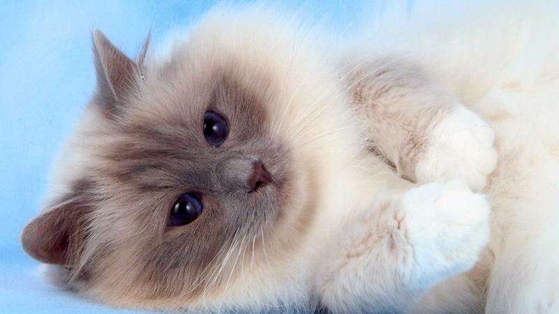 Правильный уход за бирманской кошкой