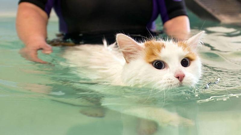Турецкий ван любит купаться и не боится воды!