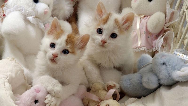 Ласковые котята турецкий ван