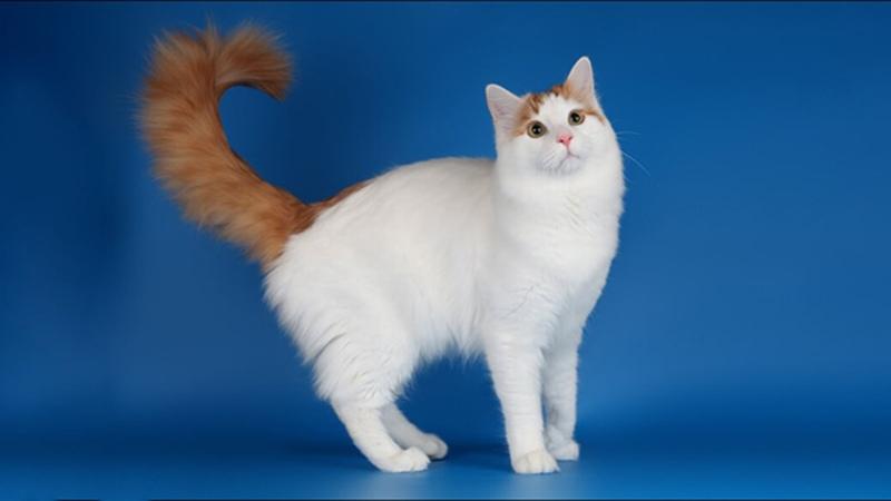 Кошка турецкий ван любит внимание и заботу
