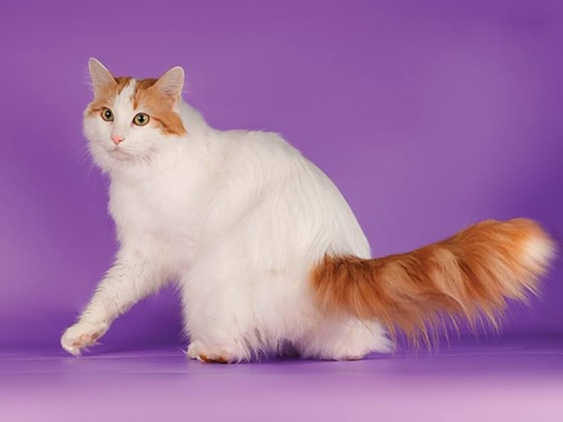 Кошка породы турецкий ван