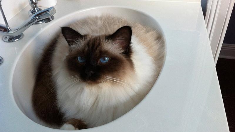 Бирманские кошки бояться воды!