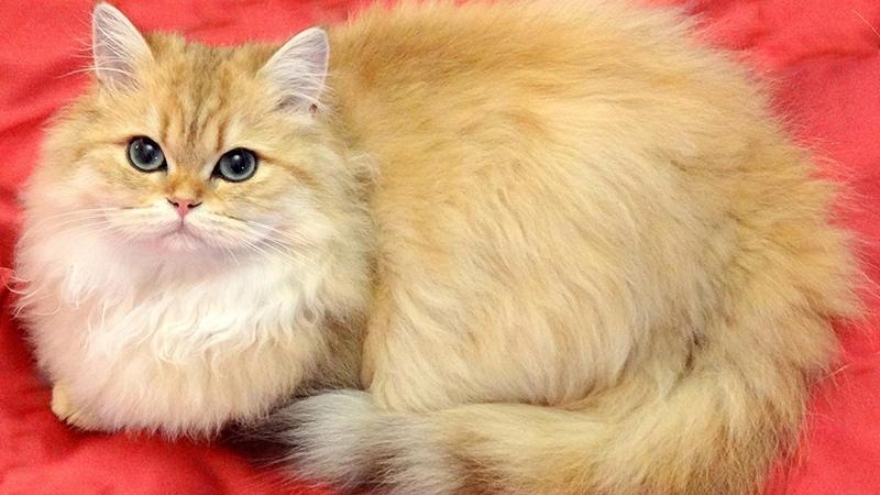 Кошка британская с окрасом шерсти золотая шиншилла