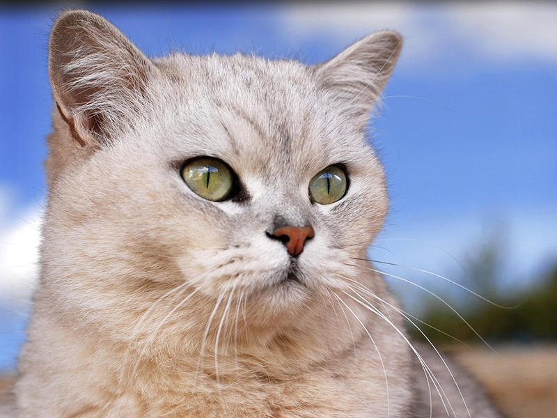 Порода кошек - бурмилла