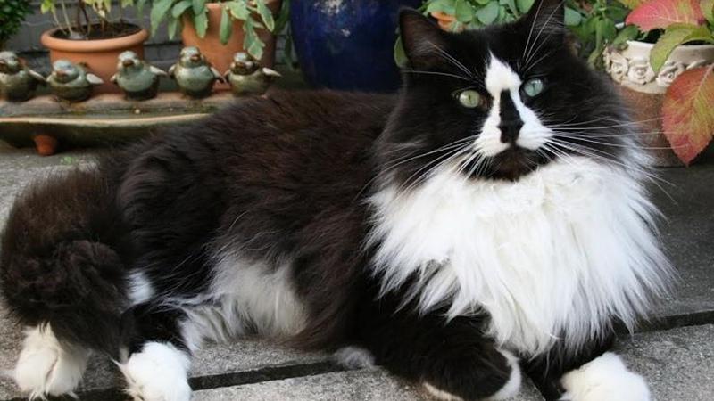 Рагамаффин - черно-белый окрас