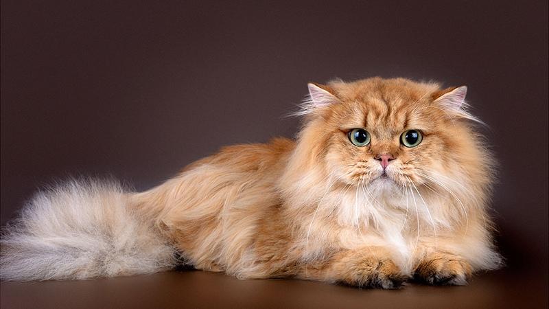 У шотландских кошек аристократичный характер
