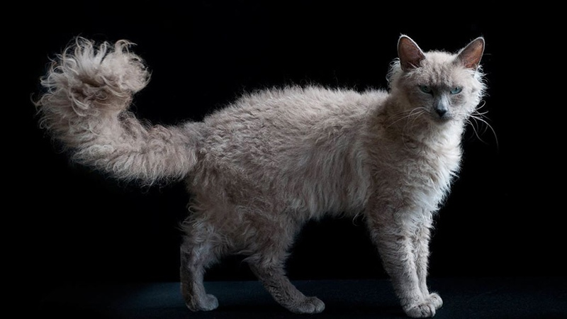 Окрас дымчатый - кошка ла-перм