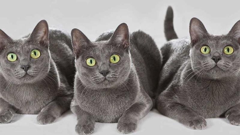 Купить котенка русской голубой в питомнике