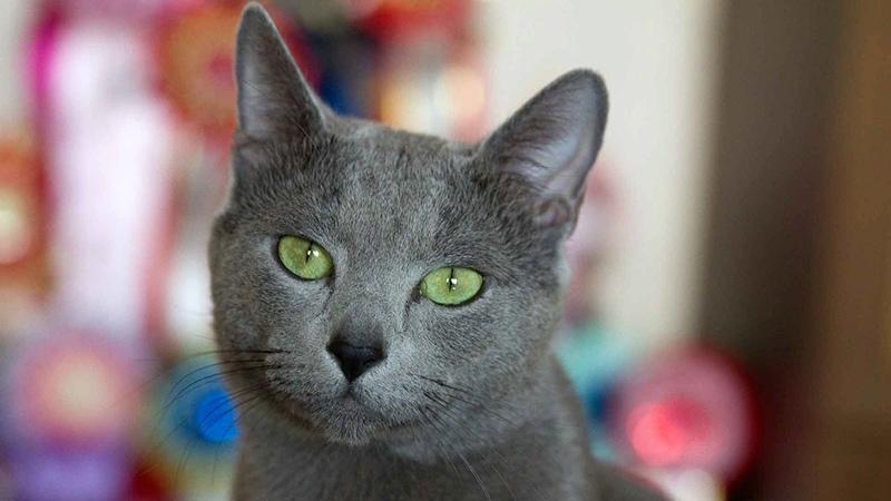 Имена для котов-мальчиков русской голубой породы
