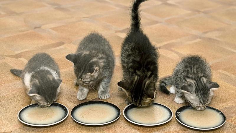 Полезные каши с молоком для котят