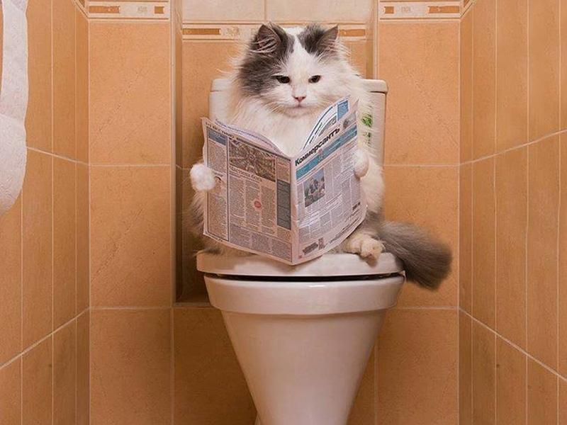 Как приучить домашнюю кошку к унитазу