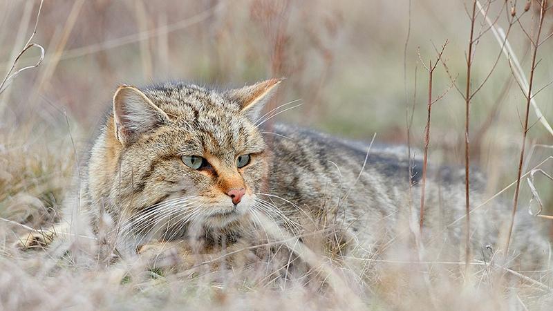 Интересные факты о жизни кавказской лесной кошки