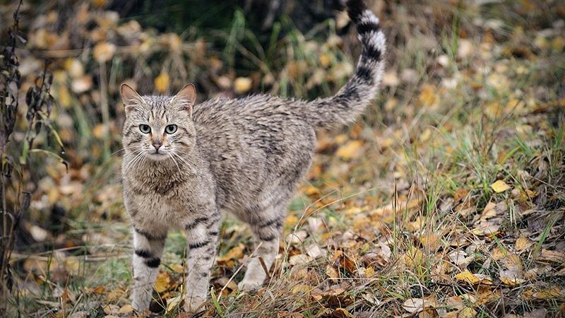 Как выглядит кавказская лесная кошка