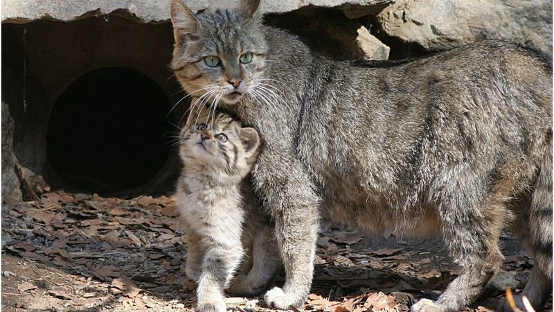 Мама-кошка с котенком лесной породы