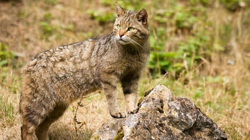 Лесная кошка любит свободу