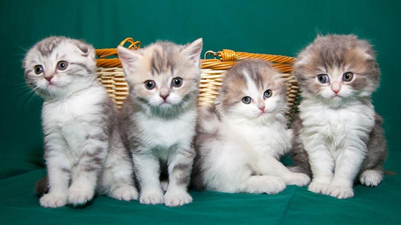Что говорят владельцы о кошках хайленд
