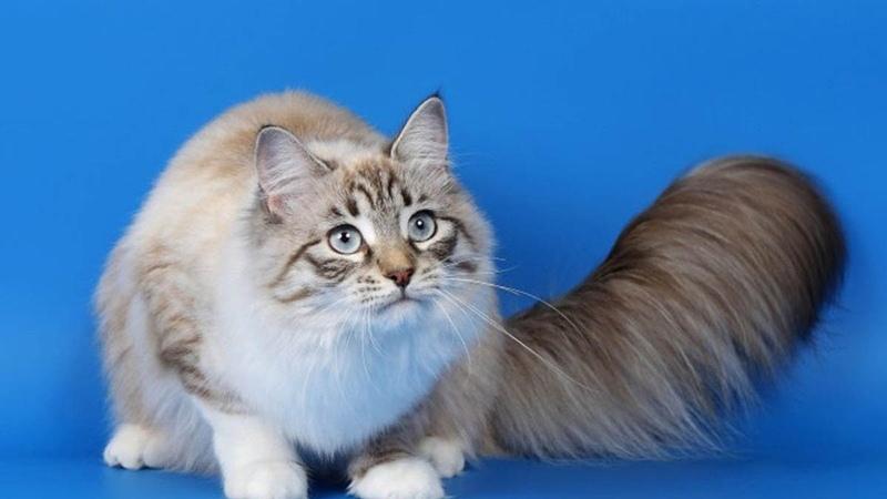Двухцветный окрас шерсти у кошек рагамаффин