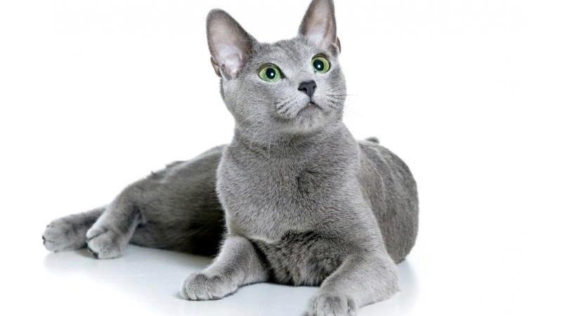 У кошек русских голубых зеленый цвет глаз