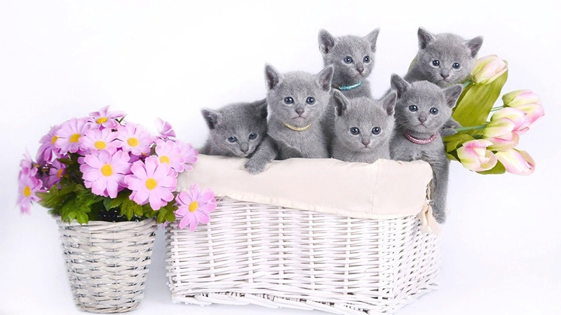 Котята русская голубая порода