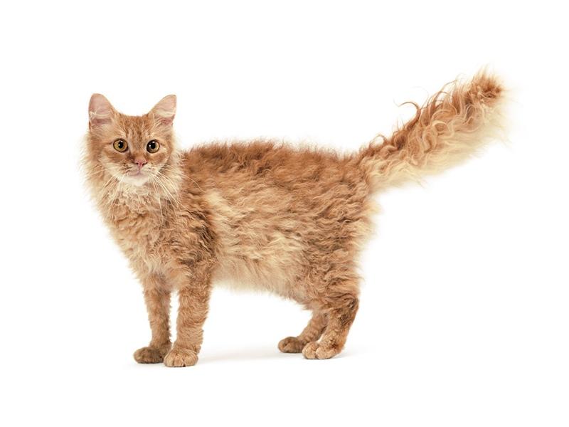 Удивительная кошка породы ла-перм