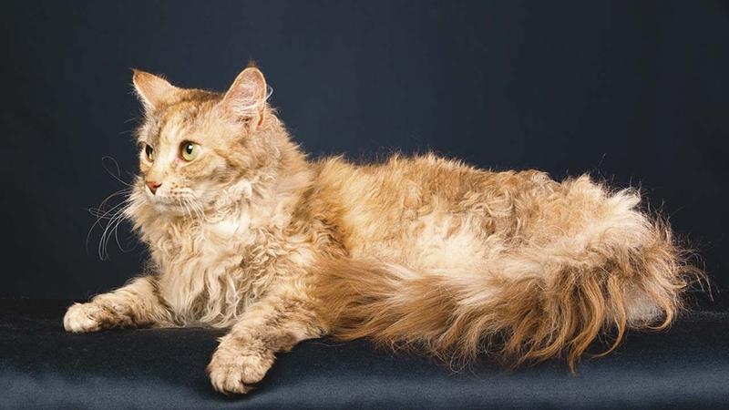 Рыжая кошка лаперм