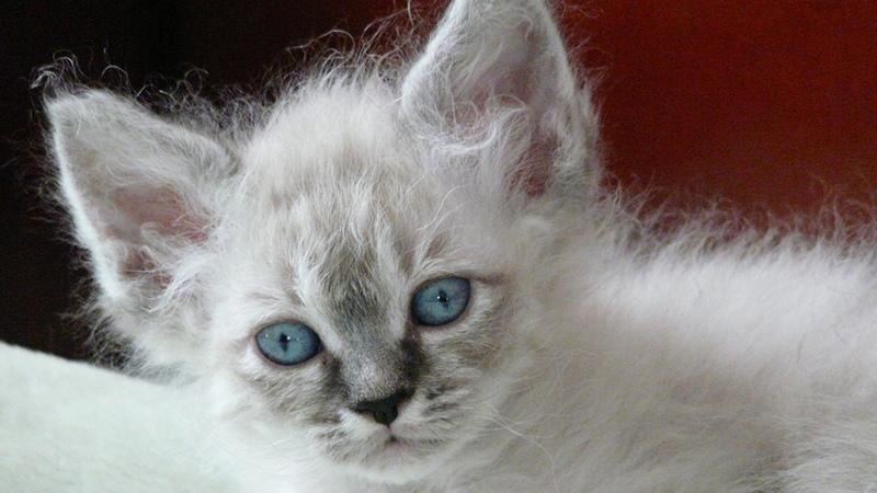 История происхождения лаперм кошек