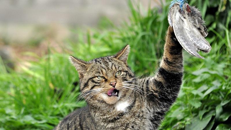 Кавказская кошка на охоте
