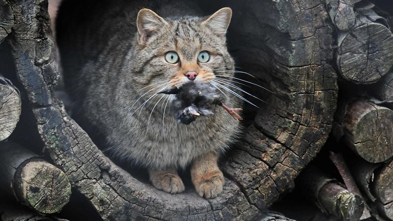 Купить кавказскую кошку можно в питомнике