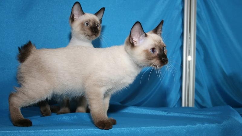 Котята породы тайский бобтейл