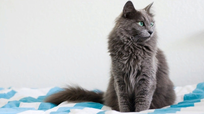 Нибелунг - длинношерстная русская голубая